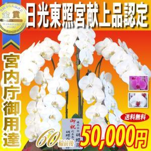 胡蝶蘭 大輪 5本立ち 50,000円 選べる3色 明日贈れる 贈答用 お祝い ギフト お供え|kihana-shop