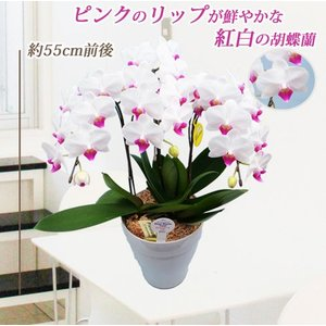 明日贈れる ユミ3本立|kihana-shop|02