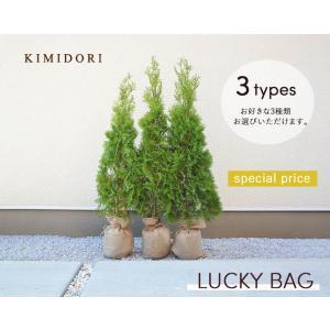 ラッキーバッグ 福袋 選べる3本 売れ筋商品 エメラルド シンボルツリー コニファー