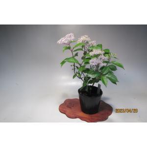 梅雨空に映えるコアジサイです。ひかえめな花美しく色は青白です。 主な花期は初夏ですが秋にも咲くことも...