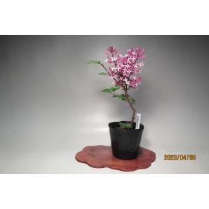 ほのかに香る淡紫色の可愛い小花をお楽しみいただけます。  ◎2019年度新苗です。 根の整理を済ませ...
