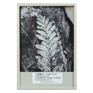 FB125  シダ植物化石(アレソプテリス) kinokuniya