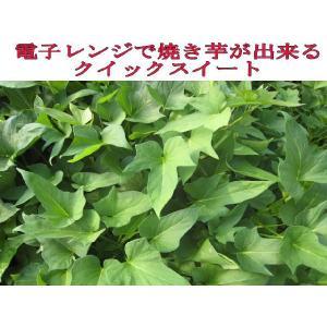 平成30年春 芋苗 予約受付中 ◆さつまいも苗◆ 甘い クイックスイート サツマイモ苗  10本 切り芋苗