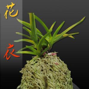 風蘭 富貴蘭 観葉植物 東洋欄 山野草 花 苗 鉢 父の日 母の日 敬老の日 贈答用 花衣|kira-bsmile