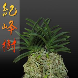 風蘭 富貴蘭 観葉植物 東洋欄 山野草 花 苗 鉢 父の日 母の日 敬老の日 贈答用 紀峰樹|kira-bsmile