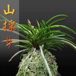 風蘭 富貴蘭 観葉植物 東洋欄 山野草 花 苗 鉢 父の日 母の日 敬老の日 贈答用 山採り|kira-bsmile