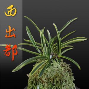 風蘭 富貴蘭 観葉植物 東洋欄 山野草 花 苗 鉢 父の日 母の日 敬老の日 贈答用 西出都|kira-bsmile