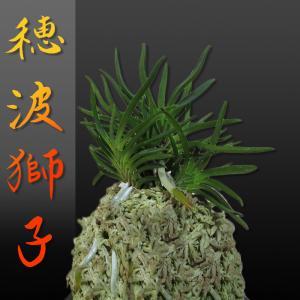 風蘭 富貴蘭 観葉植物 東洋欄 山野草 花 苗 鉢 父の日 母の日 敬老の日 贈答用 穂波獅子|kira-bsmile