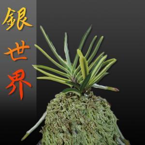 風蘭 富貴蘭 観葉植物 東洋欄 山野草 花 苗 鉢 父の日 母の日 敬老の日 贈答用 銀世界|kira-bsmile