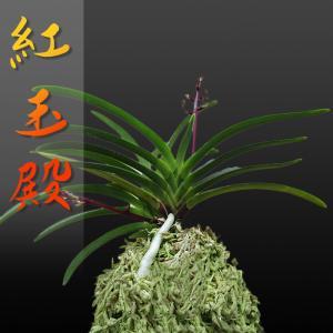 風蘭 富貴蘭 観葉植物 東洋欄 山野草 花 苗 鉢 父の日 母の日 敬老の日 贈答用 紅玉殿|kira-bsmile