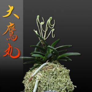 風蘭 富貴蘭 観葉植物 東洋欄 山野草 花 苗 鉢 父の日 母の日 敬老の日 贈答用 大鷹丸|kira-bsmile