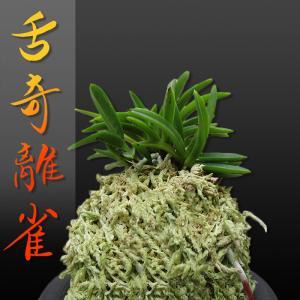 風蘭 富貴蘭 観葉植物 東洋欄 山野草 花 苗 鉢 父の日 母の日 敬老の日 贈答用 舌奇離雀|kira-bsmile