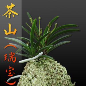 風蘭 富貴蘭 観葉植物 東洋欄 山野草 花 苗 鉢 父の日 母の日 敬老の日 贈答用 茶山 瑞宝|kira-bsmile