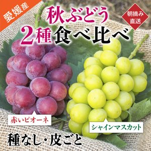 秋ぶどう2房詰合せAセット 赤いピオーネ1房、シャインマスカット1房 食べ比べ 農家直送 愛媛県産 9月発送|kirari-fruits-farm