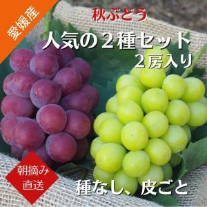 【送料無料】秋ぶどう 人気の2種Aセット 赤いピオーネ1房 シャインマスカット 1房 (9月上旬より発送)|kirari-fruits-farm