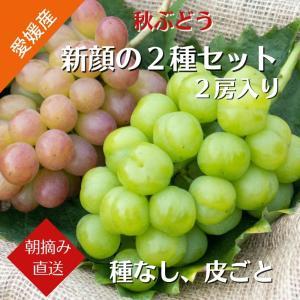 【送料無料】秋ぶどう 新顔の2種Bセット コトピー1房 瀬戸ジャイアンツ1房 (9月中旬より発送)|kirari-fruits-farm