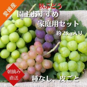 【送料無料】秋ぶどう 園主おすすめ家庭用セット 約2kg(3〜5房)愛媛県産 農家直送(9月上旬から順次発送)|kirari-fruits-farm