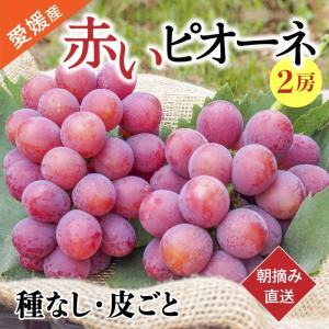 秋ぶどう 赤いピオーネ 約1.2kg 2房入り 農家直送 愛媛県産 9月発送|kirari-fruits-farm