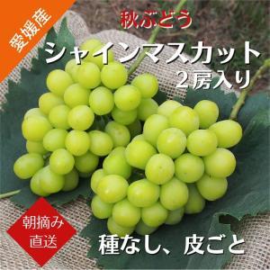 【送料無料】秋ぶどう シャインマスカット2房入り(約1.2kg) (9月上旬より発送)|kirari-fruits-farm