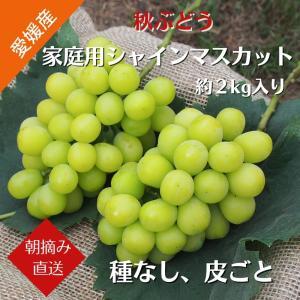 【送料無料】秋ぶどう 家庭用シャインマスカット 約2kg(3〜5房)愛媛県産 農家直送(9月上旬から順次発送)|kirari-fruits-farm