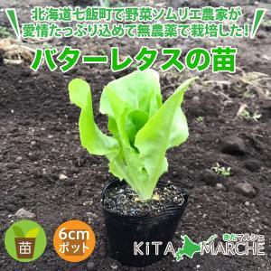 バターレタス 苗 1株 250円/北海道からお届けする農家が育てた西洋野菜の苗|kita-marche
