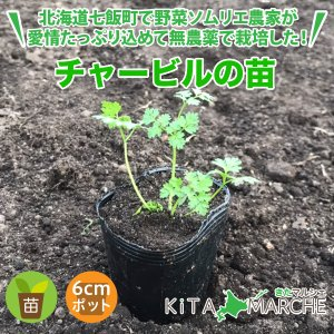チャービル/農家が育てる西洋野菜の苗|kita-marche