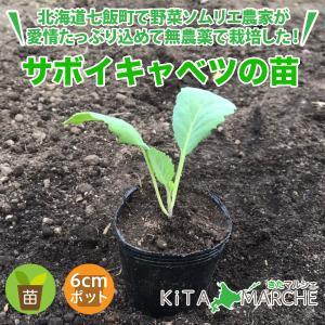 サボイキャベツ 苗 1株 250円/北海道からお届けする農家が育てた西洋野菜の苗|kita-marche