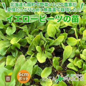 イエロービーツ 苗 1株 250円/北海道からお届けする農家が育てた西洋野菜の苗|kita-marche