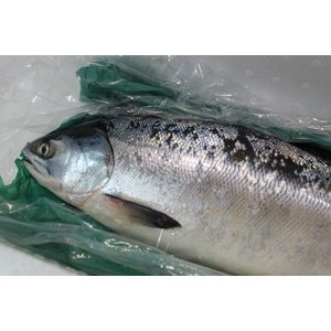 北海道産時鮭(ときしらず)2〜2.5kg前後〔B〕北港直販☆しゃけ・シャケ〔代引き不可〕〔着日指定に対応できない場合有〕|kitachokuhan