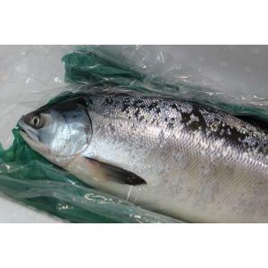 北海道産時鮭(ときしらず)3〜3.5kg前後〔B〕北港直販☆しゃけ・シャケ〔代引き不可〕〔着日指定に対応できない場合有〕|kitachokuhan