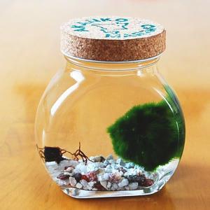 天然まりも 1個いり 太鼓瓶 水草 まりもの育て方の説明書付き アクアリウム インテリア グリーン