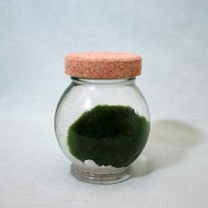 天然 まりも  中 4500  《約5cm》 北海道お土産ギフト人気(dk-2 dk-3)|kitanomori