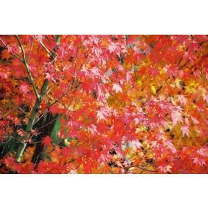 イロハモミジ(紅葉)苗木「庭木」 30〜50cm前後