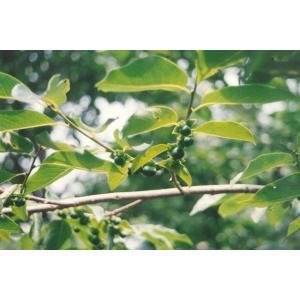 マメガキ(豆柿)苗木 30〜50cm前後