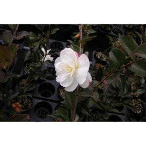 サザンカ(山茶花)「朝倉」苗木「庭木」「常緑樹」 30〜50cm前後の画像