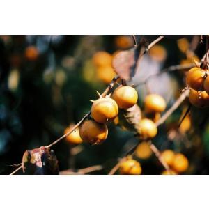 ヤマガキ(山柿)苗木 30〜50cm前後