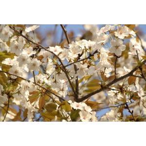 ヤマザクラ(山桜)苗木 30〜50cm前後