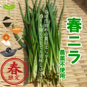 春ニラ 栽培期間中農薬不使用 1束約150g