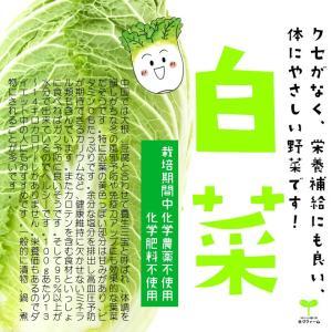白菜 栽培期間中化学農薬不使用 1/2カット ※葉を数枚とって洗浄してから出荷をするため、傷んでいる箇所がある可能性があります。