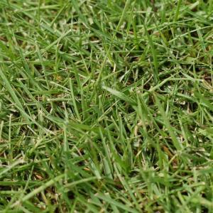 高麗芝マット(こうらいしば)【1ロール(約0.5平米)】天然芝 芝生 ロール芝 夏芝|kkb-green|02