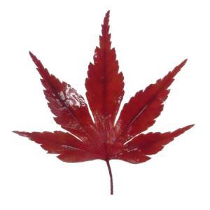 紅葉(10枚)