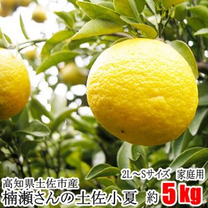 【家庭用】楠瀬さんの土佐小夏 2L〜S/5kg(日向夏・ニューサマーオレンジ)|kochi-bussan
