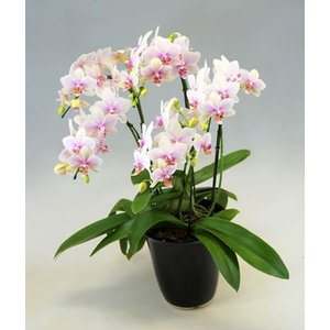 洋蘭の鉄人森田康雄からのメッセージ  「日本の象徴的な花である桜。 この桜の美しさを表現した胡蝶蘭を...
