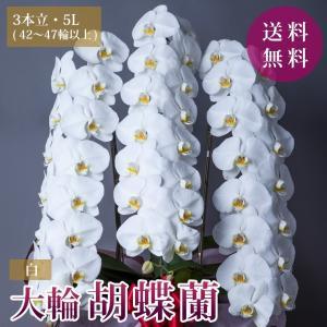 胡蝶蘭 コチョウラン 白 開店祝い 開院 誕生日 昇進祝い お供え ギフト 3本立 5Lサイズ