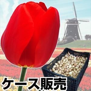 ケース販売 チューリップ 球根 普通球 赤花 1100球