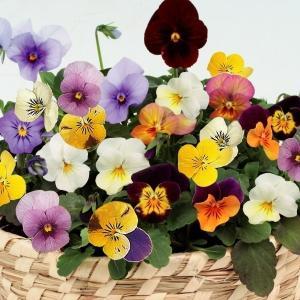 種 花たね ビオラ混合 1袋(60mg)/タネ たねの商品画像