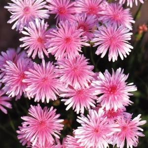 種 花たね モモイロタンポポ 1袋(80mg)
