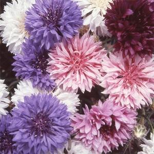 種 花たね 矢車草 八重咲矢車草混合 1袋(500mg) / 花種 花の種 はなたね ヤグルマギク 矢車菊 セントウレア セントーレア ドライフラワー
