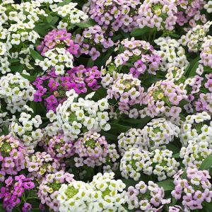 種 花たね アリッサム混合 1袋(100粒)