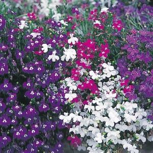 種 花たね ロベリア混合 1袋(60mg)/タネ たね